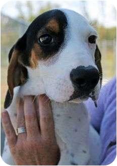 Bluetick Coonhound Puppy for adoption in Cincinnati, Ohio - Cooper