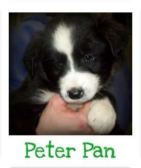 Border Collie/Sheltie, Shetland Sheepdog Mix Puppy for adoption in Southport, North Carolina - PETER PAN