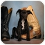 Photo 2 - Pointer Mix Puppy for adoption in Dallas, Texas - Thor