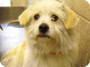 Terrier (Unknown Type, Small) Mix Dog for adoption in Encino, California - Wendell