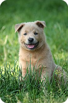 Chow Chow Mix Puppy for adoption in Pennigton, New Jersey - Donut