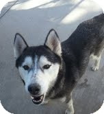 Siberian Husky Dog for adoption in Apple valley, California - Ladera