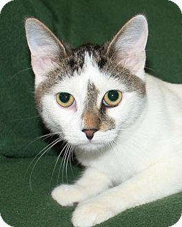 Domestic Shorthair Kitten for adoption in Rochester, New York - Louie