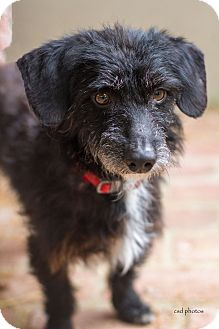 Dachshund/Terrier (Unknown Type, Small) Mix Dog for adoption in Baton Rouge, Louisiana - Shadow