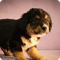 Adopt A Pet :: Wilbur - Broomfield, CO