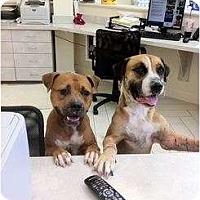 Adopt A Pet :: Desiree - miami beach, FL