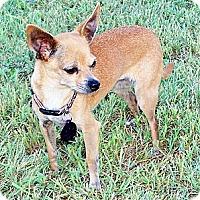 Adopt A Pet :: Cookie - San Angelo, TX
