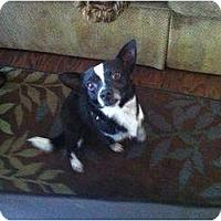 Adopt A Pet :: Holstein - Justin, TX