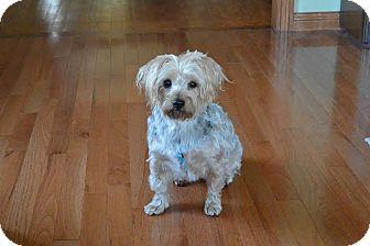 Yorkie, Yorkshire Terrier Dog for adoption in Cincinnati, Ohio - Lacey