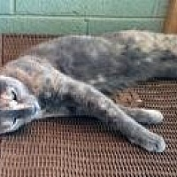 Domestic Shorthair Cat for adoption in Mission Viejo, California - Blusher