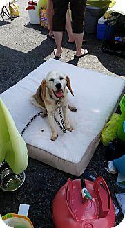 Beagle Dog for adoption in Monterey, Virginia - Bailey Beagle