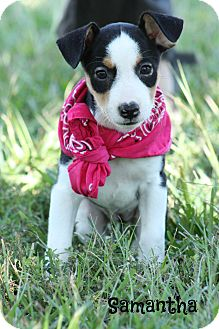 Rat Terrier/Hound (Unknown Type) Mix Puppy for adoption in Haggerstown, Maryland - Samantha