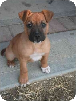 Boxer/Shepherd (Unknown Type) Mix Puppy for adoption in Springdale, Ohio - Sally