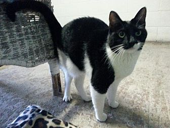 Domestic Shorthair Cat for adoption in New Martinsville, West Virginia - Lucy