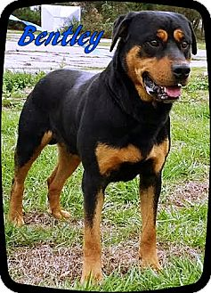 Rottweiler Dog for adoption in Ahoskie, North Carolina - Bentley