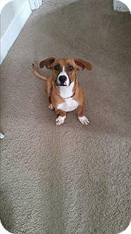 Basset Hound/Dachshund Mix Dog for adoption in New Oxford, Pennsylvania - Eli