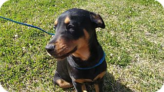 Doberman Pinscher Mix Puppy for adoption in West Warwick, Rhode Island - Scooter