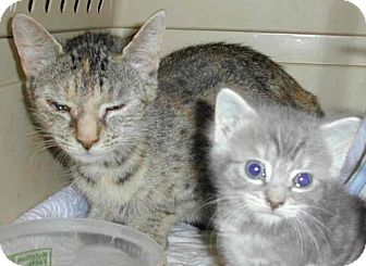 Domestic Mediumhair Cat for adoption in Wakefield, Massachusetts - Connie