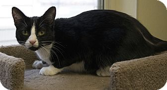 Domestic Shorthair Kitten for adoption in Fremont, Nebraska - Venus
