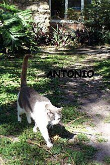 Domestic Shorthair Cat for adoption in Naples, Florida - Antonio