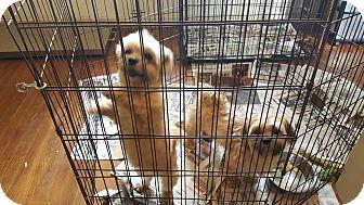 Shih Tzu Dog for adoption in Okeechobee, Florida - 3 Shih Tzu