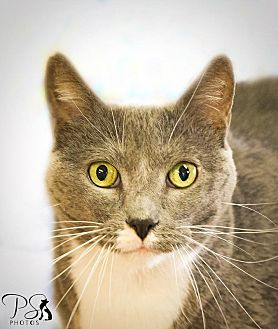 Domestic Shorthair Cat for adoption in Belton, Missouri - Roxy
