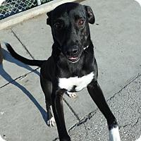 Labrador Retriever Mix Dog for adoption in Seguin, Texas - Samara