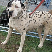 Adopt A Pet :: Speckles - Weatherford, OK