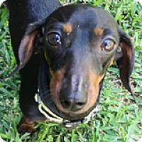 Adopt A Pet :: Olive Ontario - Houston, TX