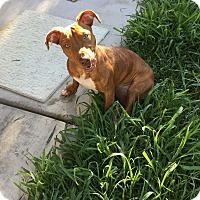 Adopt A Pet :: Felicia - Las Vegas, NV