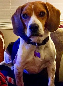 Beagle Dog for adoption in Apple Valley, California - Rusty