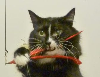 Domestic Longhair/Domestic Shorthair Mix Cat for adoption in Westville, Indiana - Pluto