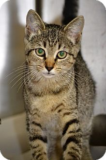 Domestic Shorthair Kitten for adoption in Albemarle, North Carolina - Layla