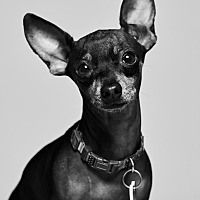 Adopt A Pet :: Frack - Van Nuys, CA