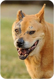 Akita/Chow Chow Mix Dog for adoption in El Segundo, California - Hachi–ADOPTED!