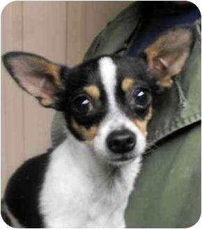 Chihuahua Dog for adoption in Harrison, Arkansas - Pepe