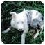 Photo 1 - Australian Shepherd Puppy for adoption in Corryton, Tennessee - Bonnie Blue
