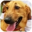 Photo 2 - Labrador Retriever/Basset Hound Mix Dog for adoption in Sugar Land, Texas - Gunner