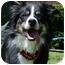 Photo 4 - Border Collie Dog for adoption in Bellevue, Nebraska - Riane