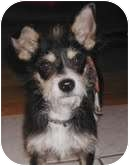 Schnauzer (Miniature)/Chihuahua Mix Puppy for adoption in Frisco, Texas - Sparky