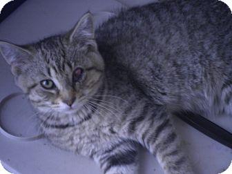 Domestic Mediumhair Kitten for adoption in Warren, Michigan - Kisa