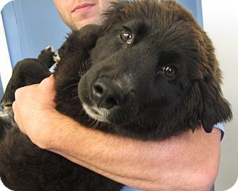 Border Collie/Curly-Coated Retriever Mix Dog for adoption in Beacon, New York - Penelope