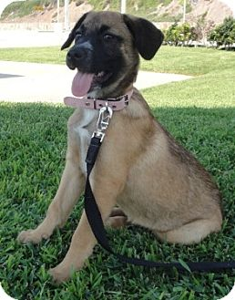 German Shepherd Dog Mix Puppy for adoption in Poway, California - DORI