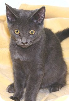 Domestic Shorthair Cat for adoption in South Haven, Michigan - Woodstock