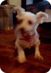 Havanese Mix Dog for adoption in North Benton, Ohio - Tasha