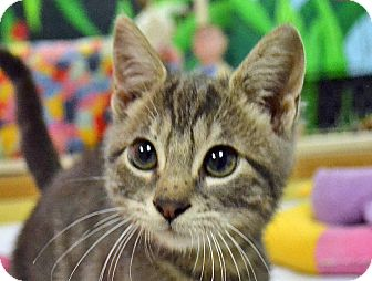 Domestic Shorthair Cat for adoption in Searcy, Arkansas - Rascal