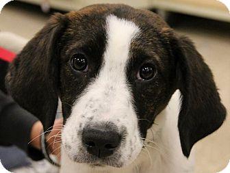 Labrador Retriever Mix Puppy for adoption in Columbia, Illinois - Tiger Lily