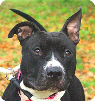 Pit Bull Terrier Mix Dog for adoption in Daytona Beach, Florida - Chloe