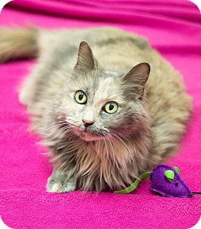 Domestic Longhair Cat for adoption in Chicago, Illinois - Pearl