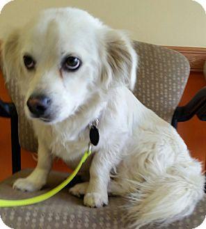 """Corgi/Spaniel (Unknown Type) Mix Dog for adoption in Seattle, Washington - """"Ajay"""""""